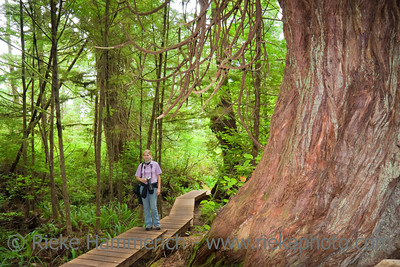 Young Woman on a Boardwalk near giant Tree - Old-growth Rainforest in Pacific Rim National Park, Vancouver Island, British Columbia, Canada