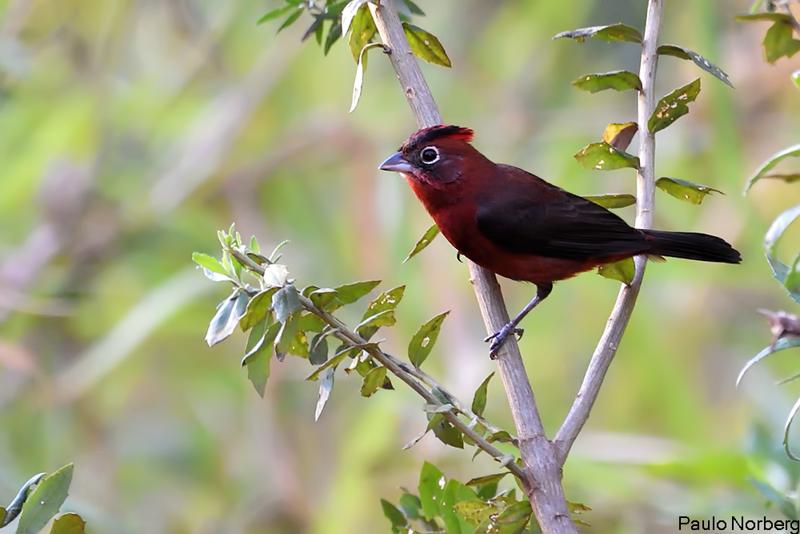 Lanio cucullatus<br /> Tico-tico-rei<br /> Red-crested Finch<br /> Brasita de fuego - Araguyra