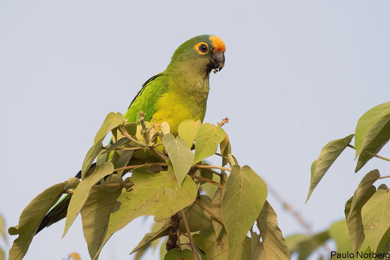 Eupsittula aurea<br /> Periquito-rei<br /> Peach-fronted Parakeet<br /> Maracaná frente naranja - Tu'î apyteju