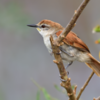 Certhiaxis cinnamomeus<br /> Curutié<br /> Yellow-chinned Spinetail<br /> Curutié colorado - Kurutie