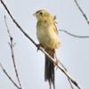 Emberizoides herbicola<br /> Canário-do-campo imaturo<br /> Wedge-tailed Grass-Finch immature<br /> Coludo grande - Havía kapi'i