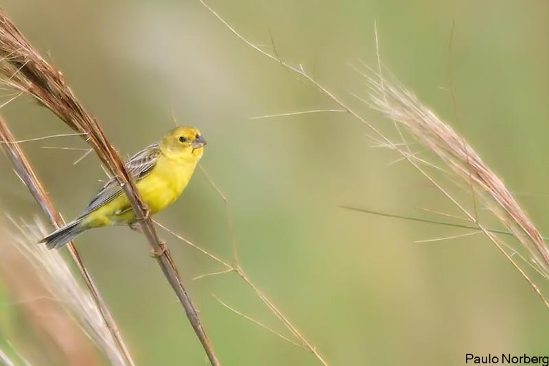 Sicalis luteola<br /> Tipio<br /> Grassland Yellow-Finch<br /> Misto - Chipíu