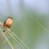 Sporophila hypoxantha<br /> Caboclinho-de-barriga-vermelha<br /> Tawny-bellied Seedeater<br /> Capuchino canela - Guyra juru tu'î pytâ