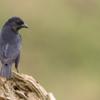 Molothrus bonariensis<br /> Vira-bosta fêmea<br /> Shiny Cowbird female<br /> Tordo renegrido - Guyraû