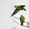 Amazona aestiva<br /> Papagaio-verdadeiro<br /> Blue-fronted Parrot<br /> Loro hablador - Parakáu