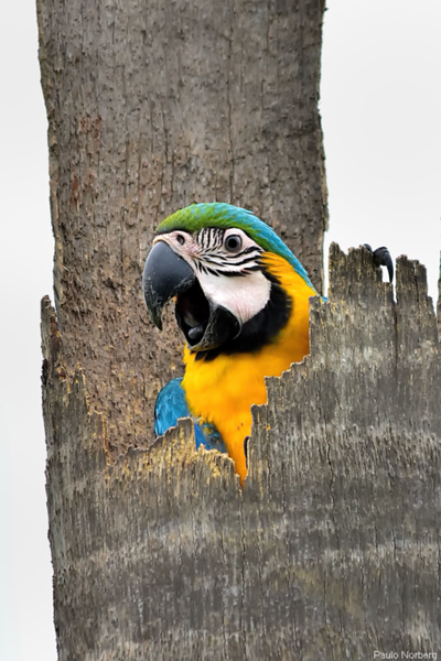 Ara ararauna<br /> Arara-canindé<br /> Blue-and-yellow Macaw<br /> Papagayo amarillo - Kaninde