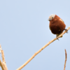 Sporophila cinnamomea<br /> Caboclinho-de-chapéu-cinzento<br /> Chestnut Seedeater<br /> Capuchino corona gris - Guyra juru tu'î pytâ