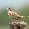 Ammodramus humeralis<br /> Tico-tico-do-campo<br /> Grassland Sparrow<br /> Chingolo ceja amarilla - Manimbe