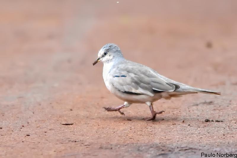 Columbina picui<br /> Rolinha-picui<br /> Picui Ground-Dove<br /> Tortolita - Pyku'i