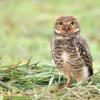 Athene cunicularia<br /> Coruja-buraqueira<br /> Burrowing Owl<br /> Lechucita vizcachera - Urukurea chichi