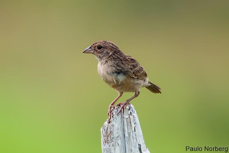 Ammodramus humeralis<br /> Tico-tico-do-campo imaturo<br /> Grassland Sparrow immature<br /> Chingolo ceja amarilla - Manimbe