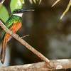 Galbula ruficauda<br /> Ariramba-de-cauda-ruiva<br /> Rufous-tailed Jacamar<br /> Yacamará - Mainumby guasu