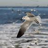 Laughing Gull, non-breeding adult (Leucophaeus atricilla)