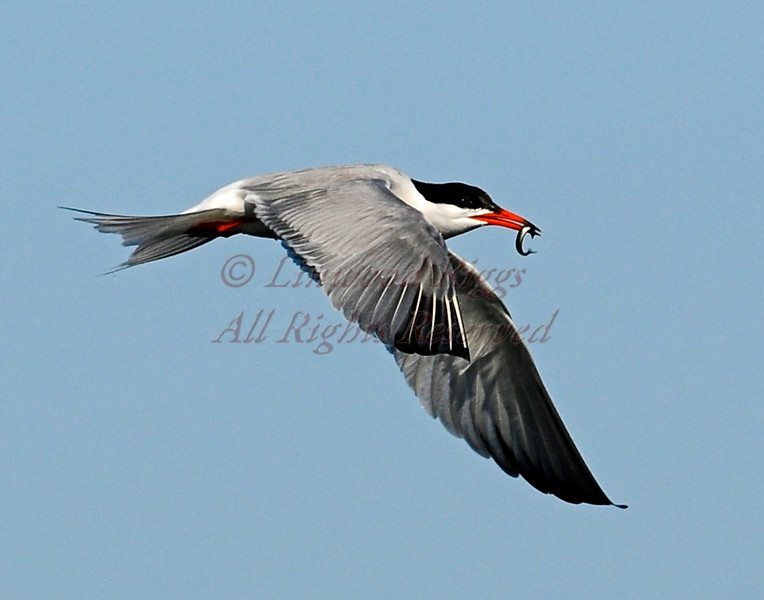 Common Tern, Popham, Maine