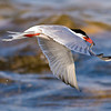 Common Tern fishing at Popham Beach, Maine