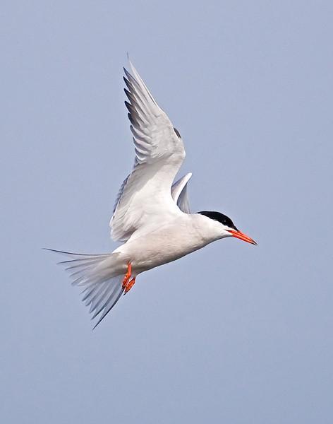 Common Tern fishing at Popham Beach, Maine