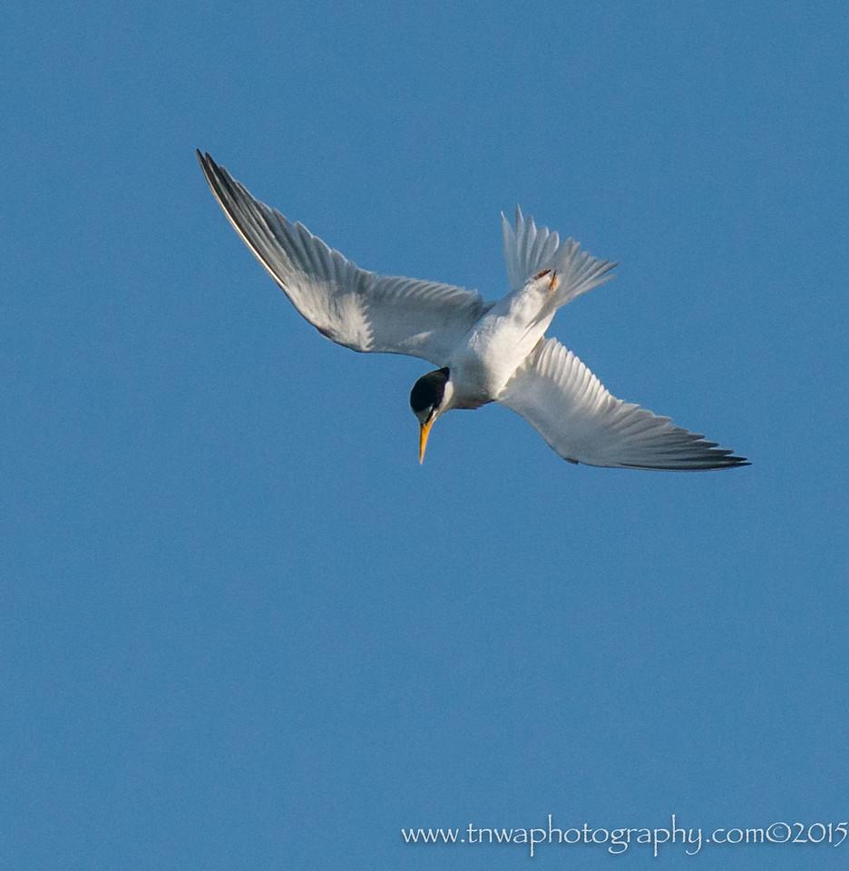 Least Tern Underside