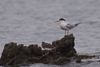 Elegant Tern with a Black Turnstone