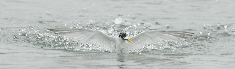Least Tern (5)