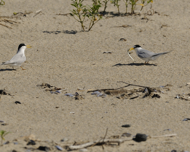 Napatree Point - Least Tern (3) - with fish