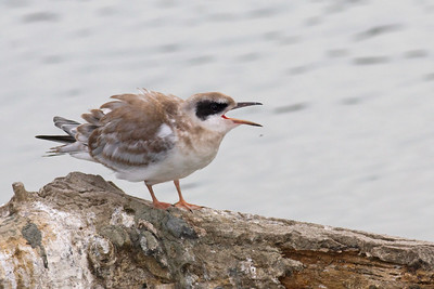 Juvy Forstern's Tern