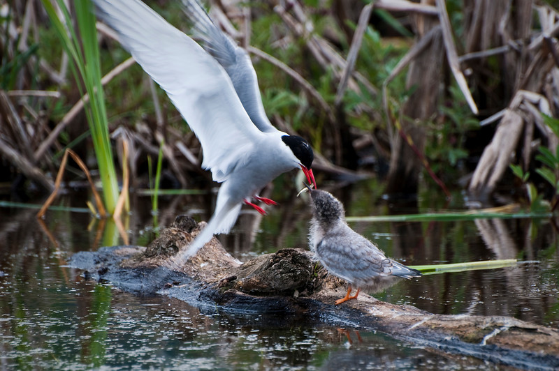 Arctic Tern feeding it's young Potter's Marsh Alaska © 2010