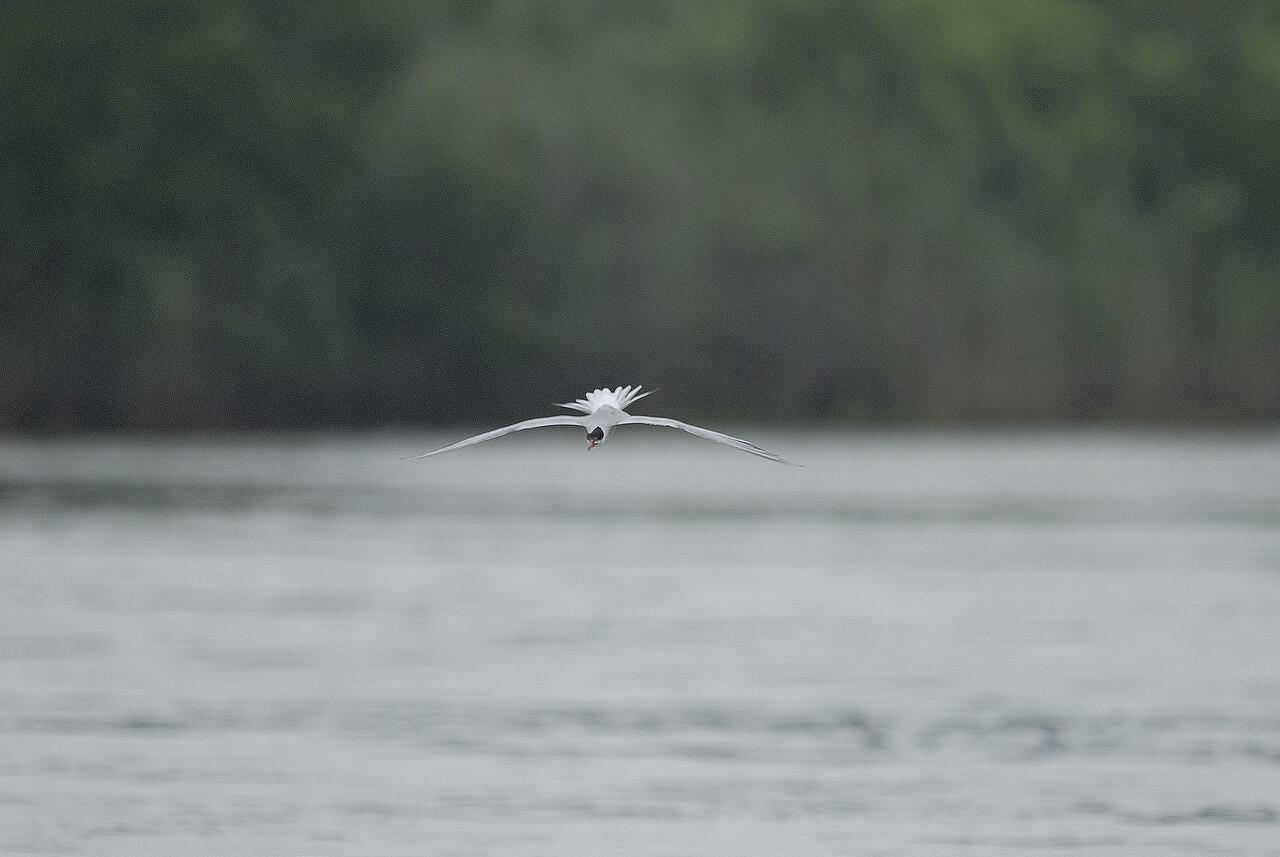 Common Tern (15) nef