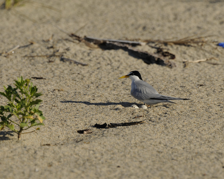 Napatree Point - Least Tern (2) - with nest