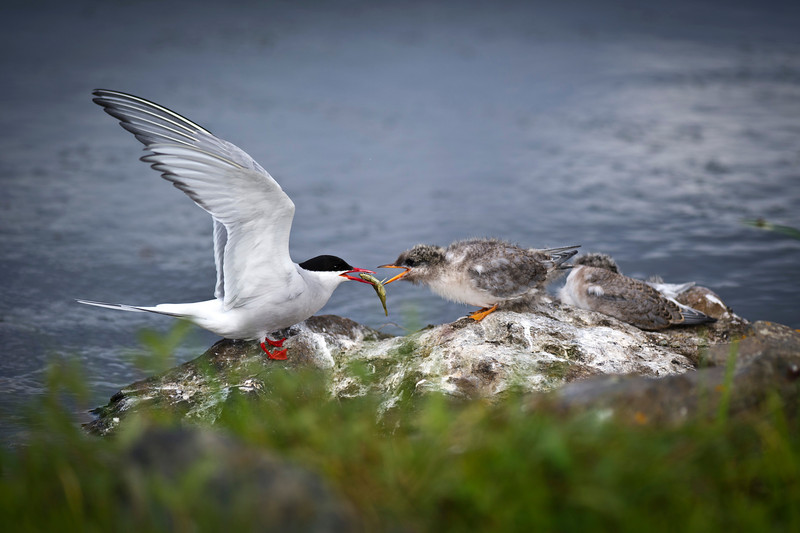 Arctic Tern Parent Tends to Baby Potter's Marsh Anchorage, Alaska © 2011