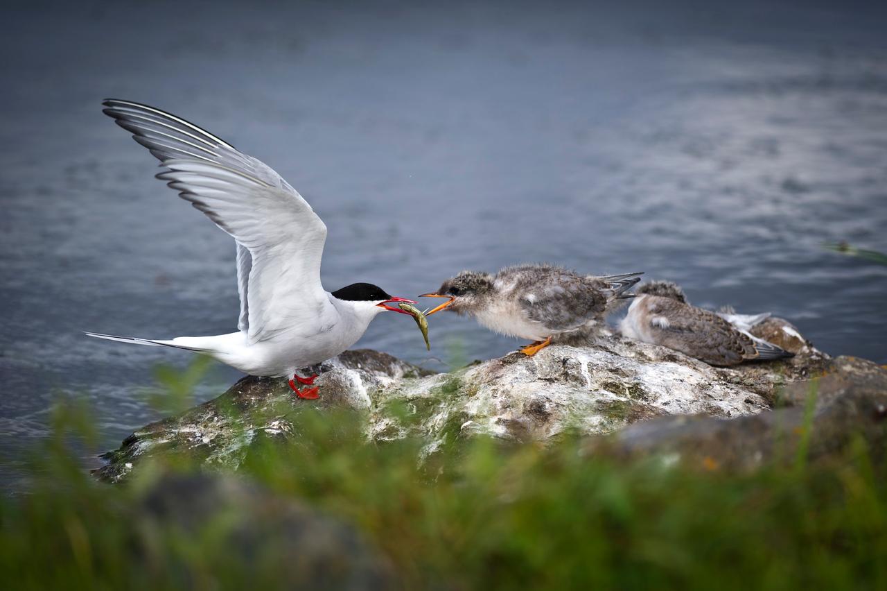 Arctic Tern Parent Tends to Baby Potter's Marsh Anchorage, Alaska © 2011