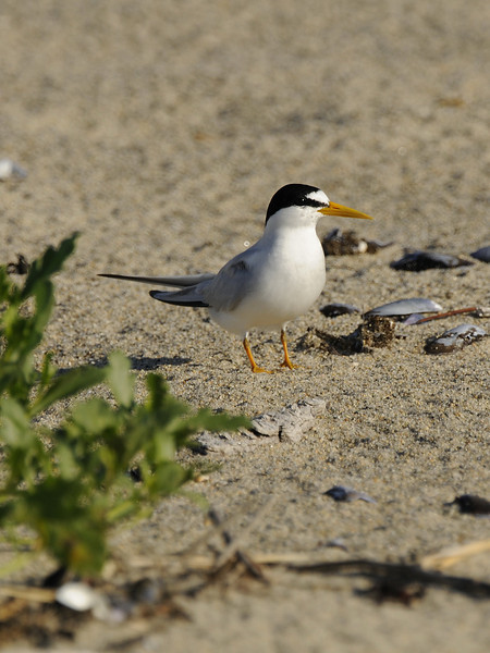 Napatree Point - Least Tern (1)
