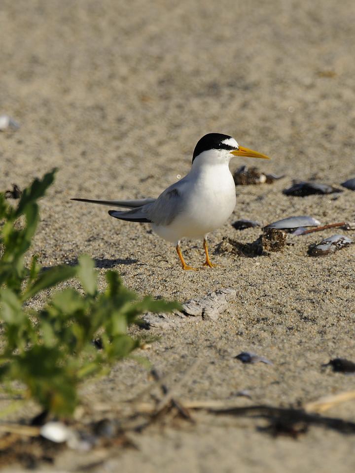 Napatree Point - Least Tern (1)