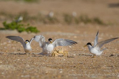 Terns vs Ghost Crab
