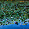 Duck in the LIly Pads