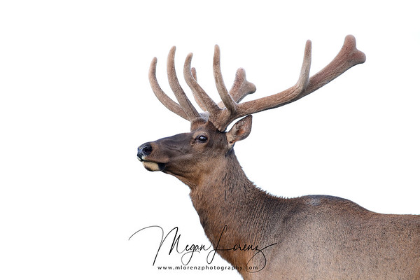 Bull Elk in Yellowstone National Park in the Spring of 2017.