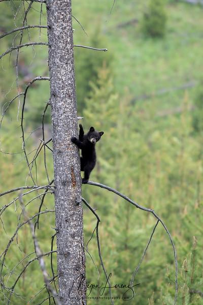 Tiny Black Bear Cub in Yellowstone National Park
