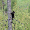 Tiny Black Bear Cub in Yellowstone National Park