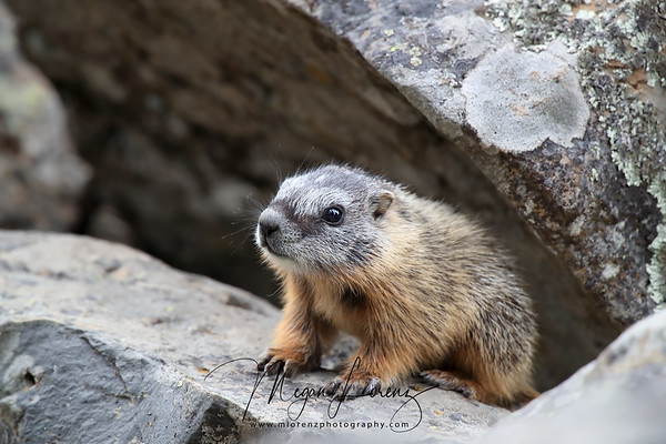 Baby Yellow-Bellied Marmot in Yellowstone National Park
