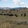 2014_ Lamar Valley bison