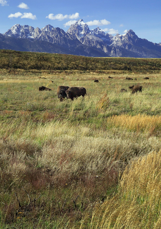 tetons and buffalo from gros ventre flat