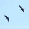 Common Black Hawk at Smith Point Hawk Tower with Black Vulture
