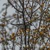 Black-throated Gray Warbler - Resaca De La Palma