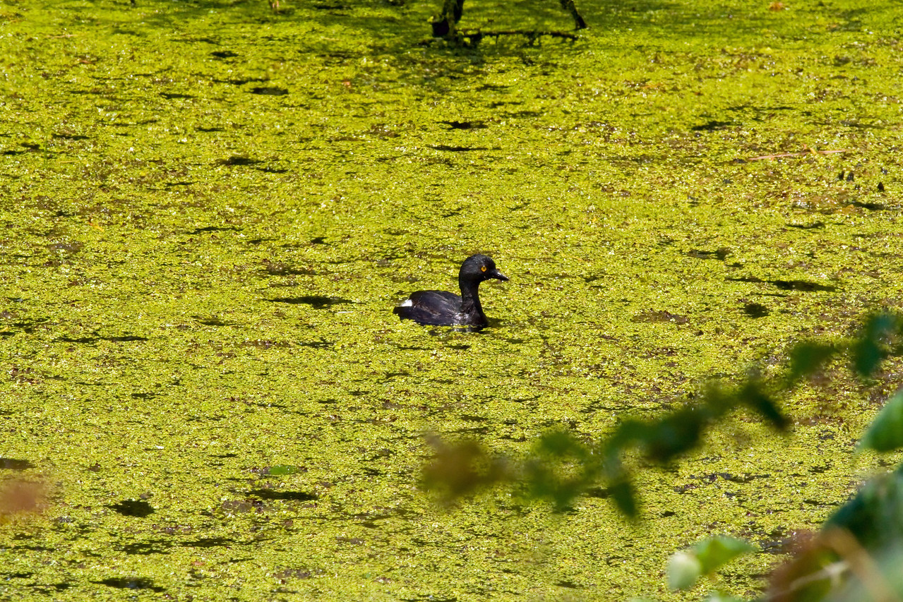 Least Grebe Aransas National Wildlife Refuge