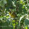 Crimson - collared Grosbeak - Laguna Atascosa, feeding on Potato Tree berries
