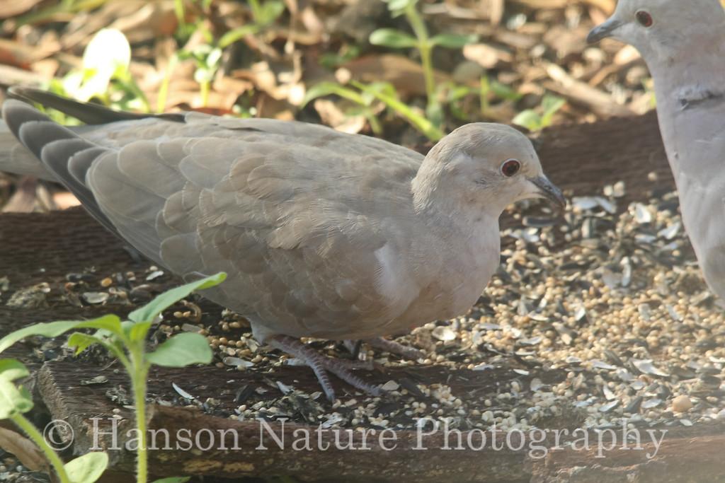 Non-Collard Eurasian Collard-Dove