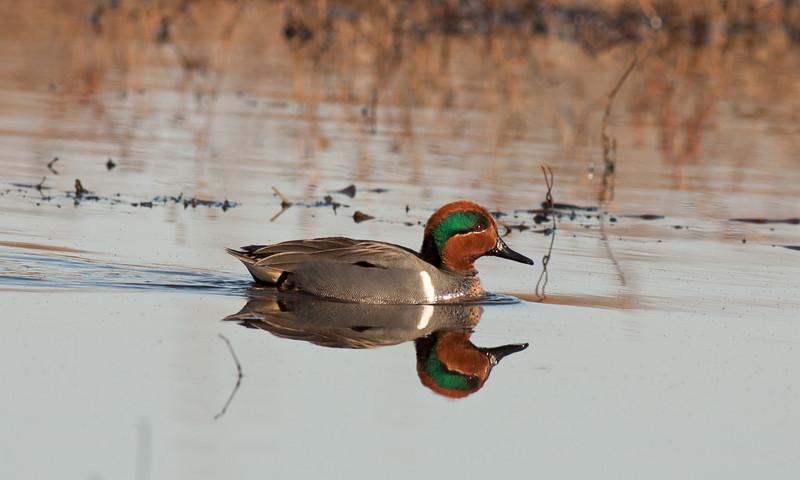 Green Wing Teal @ Lake Tyler