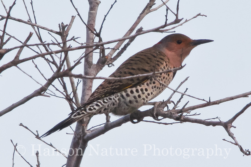 Yellow-shafted Flicker (female)