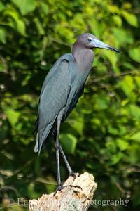 Little Blue Heron - Brazos Bend State Park, TX