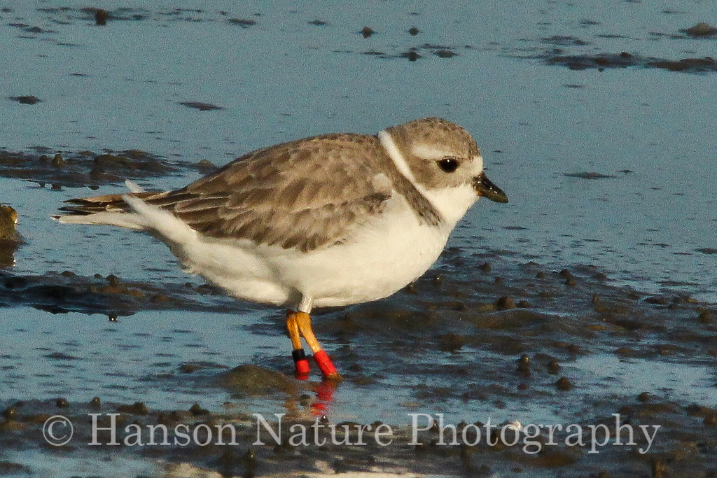 Piping Plover (The bird in photos 346/352 was banded as an adult at a housing development near North Bend, NE on 26 May 2011.)