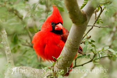 Northern Cardinal; Laguna Atascosa